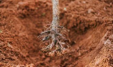 Γυμνόριζα φυτά: ποια είναι και πώς φυτεύονται