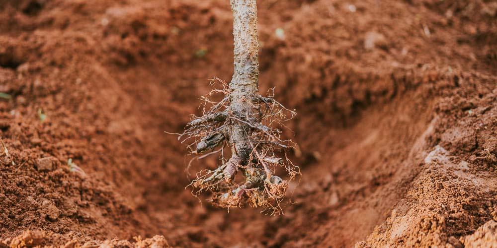 Γυμνόριζα φυτά: τι είναι και πώς φυτεύονται