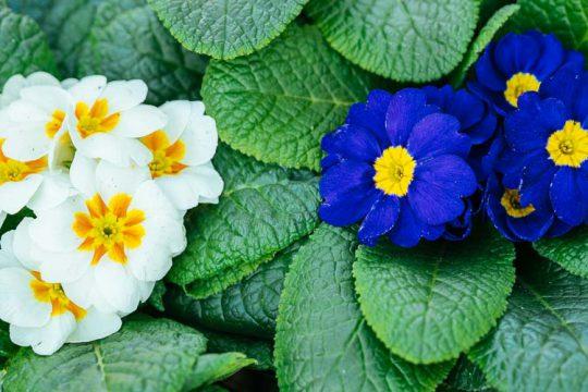 Πρίμουλα, το πρώτο λουλούδι του χειμώνα