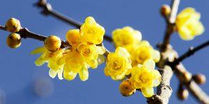 Χειμωνανθός, το λουλούδι του χειμώνα