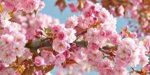 Η άνθιση της κερασιάς αποτελεί ένα υπέροχο θέαμα