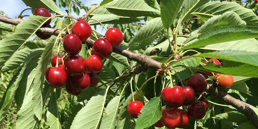 8 μυστικά για την καλλιέργεια της κερασιάς