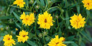 Κορέοψις, ένα άγριο λουλούδι με πλούσια ανθοφορία