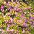 Kουφέα, ένας υπέροχος θάμνος με μικρά μωβ λουλούδια