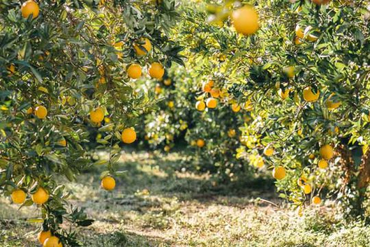 Αποστάσεις φύτευσης για καλλιέργειες καρποφόρων δέντρων