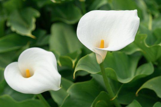 Κάλλα, ένας υπέροχος και ανθεκτικός κρίνος