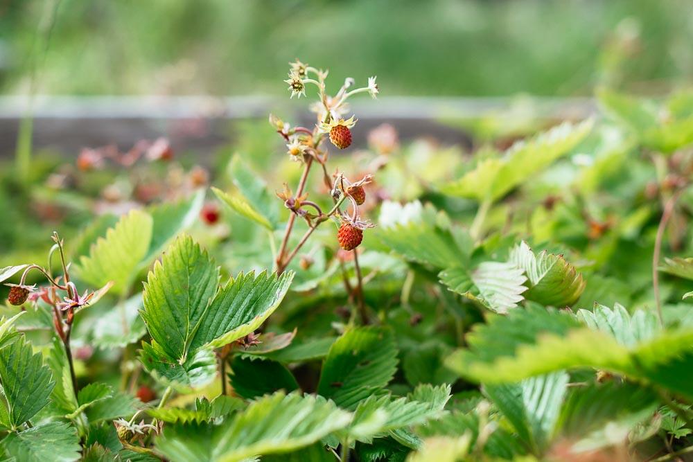 Άγριες φράουλες