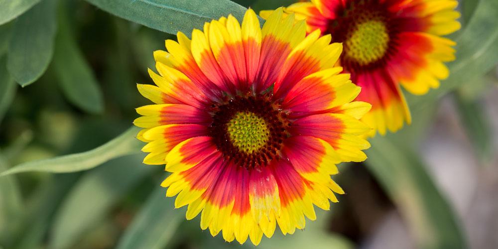 Γκαϊλάρδια, ένα φυτό με λουλούδια που μοιάζουν με ινδιάνικο χαλί