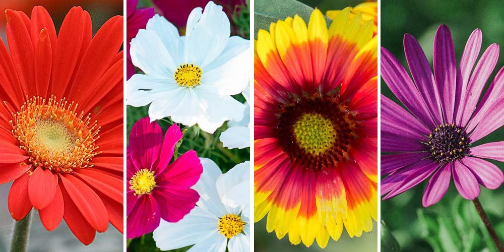10 λουλούδια που μοιάζουν με μαργαρίτες