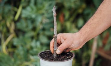 Πολλαπλασιασμός συκιάς, πως δημιουργούμε καινούρια φυτά