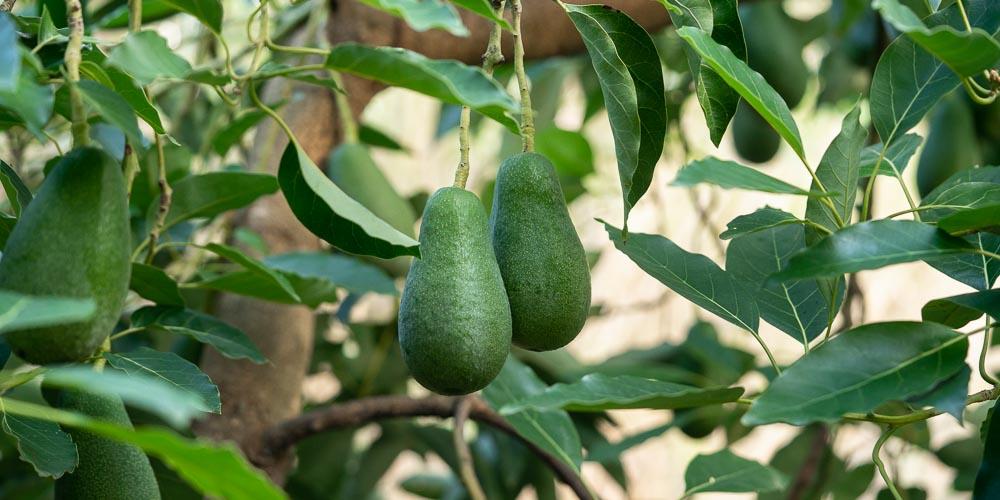 10 μυστικά για την καλλιέργεια του αβοκάντο (+video)