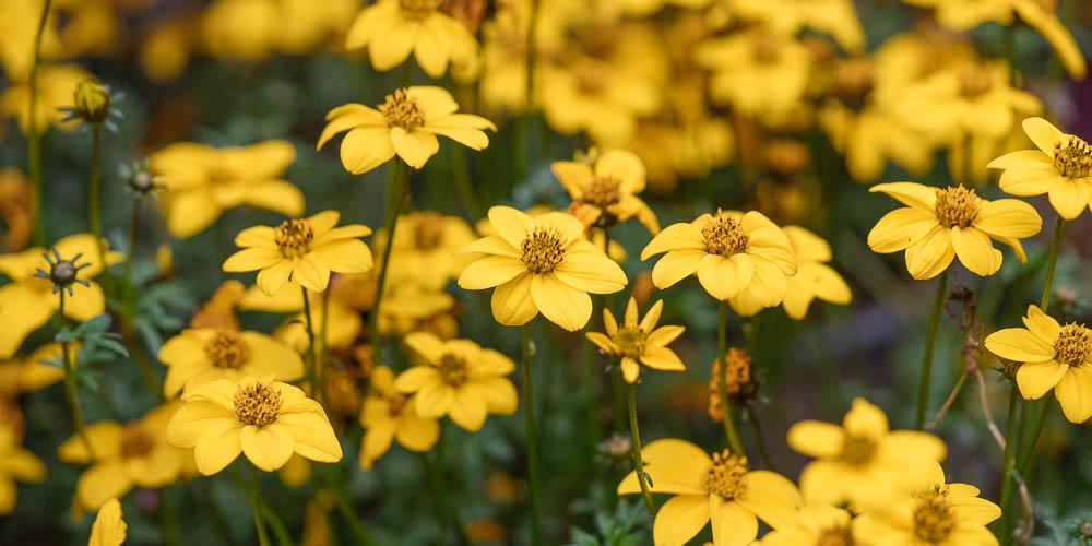Μπίντενς, ένα φυτό με χρυσαφί λουλούδια