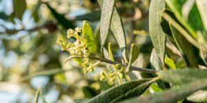 Καρπόδεση ελιάς: πώς βελτιώνουμε την ανθοφορία και την καρπόδεση