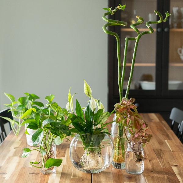 Φυτά που αναπτύσσονται σε νερό. Πόθος, σπαθίφυλλο, lucky bamboo και κολεός.