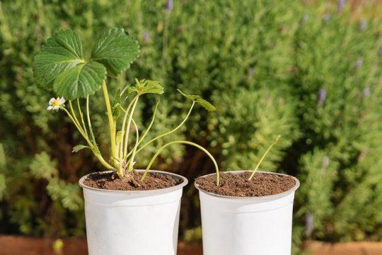 Πολλαπλασιασμός φραουλιάς, πώς δημιουργούμε νέα φυτά
