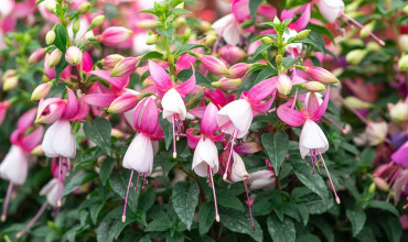 Σκουλαρίκι, ένα φυτό με εντυπωσιακά πολύχρωμα λουλούδια