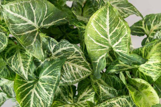 Συγκόνιο, ένα αναρριχώμενο φυτό εσωτερικό χώρου
