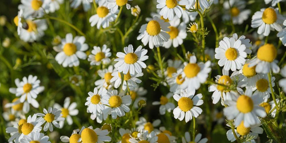 Χαμομήλι, καλλιέργεια σε κήπο και σε γλάστρα
