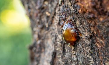 Κομμίωση, αντιμετώπιση της φυτόφθορα σε καρποφόρα δέντρα