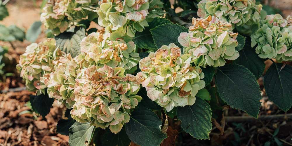 Ώριμα λουλούδια ορτανσίας