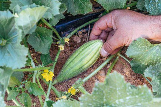 7 μυστικά για την καλλιέργεια του ατζουριού