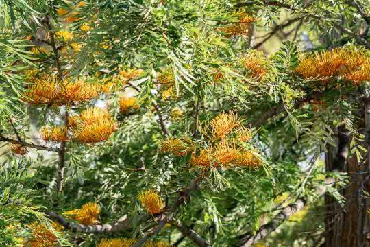 Γρεβιλέα, ένα εξωτικό φυτό με εντυπωσιακά λουλούδια