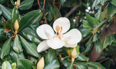 Μανόλια, ένα καλλωπιστικό δέντρο με εντυπωσιακά λουλούδια