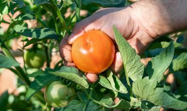 Αντιμετώπιση της τούτα (Tuta) στις ντομάτες