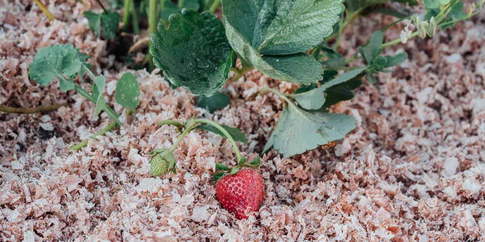 Εδαφοκάλυψη με υπολείμματα ξύλου σε βιολογική καλλιέργεια φράουλας