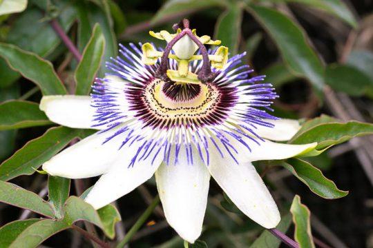 Πασιφλόρα ή ρολογιά, ένα αναρριχώμενο φυτό με εντυπωσιακά λουλούδια