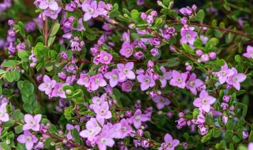 Μπορόνια, ένας καλλωπιστικός θάμνος με πολλά λουλούδια
