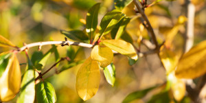 Γιατί κιτρινίζουν τα φύλλα στα φυτά και πώς το αντιμετωπίζουμε