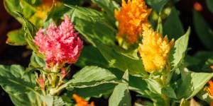 Λουλούδια σελόζιας σε έντονα χρώματα