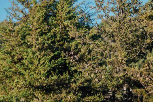 Κυπαρίσσι, ένα κωνοφόρο δέντρο για φράχτη