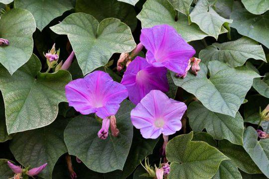 Πρωινή χαρά, ένα αναρριχώμενο φυτό με υπέροχα λουλούδια
