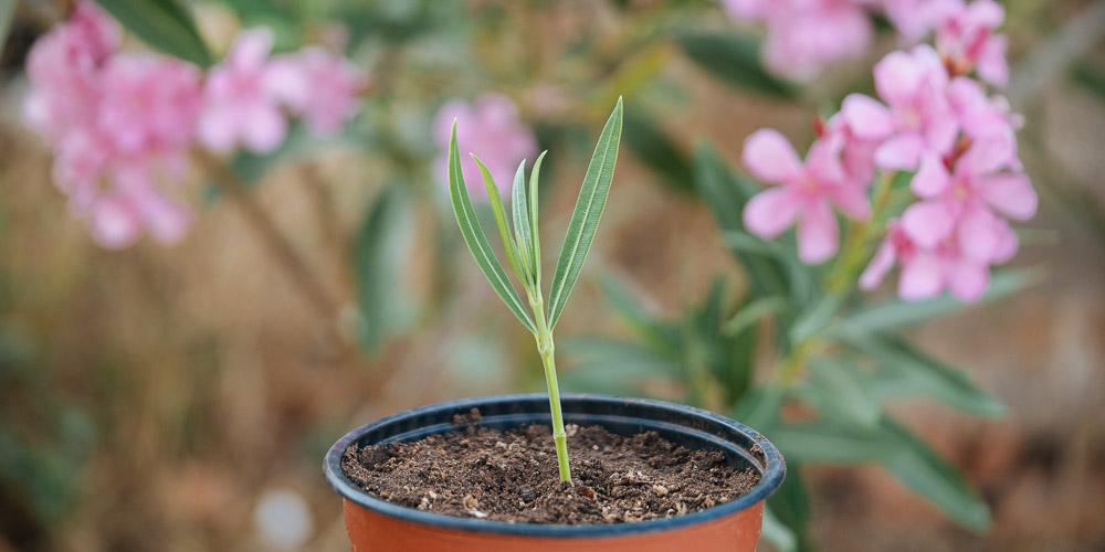 Πολλαπλασιασμός γαρυφαλλιάς, πώς δημιουργούμε νέα φυτά