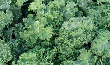 10 μυστικά για την καλλιέργεια της λαχανίδας (κέιλ)