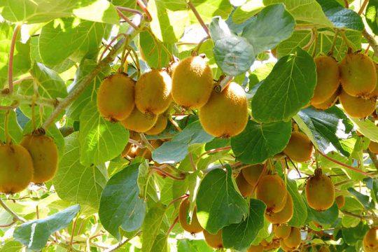 10 μυστικά για την καλλιέργεια του ακτινίδιου
