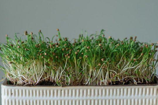Τι είναι τα microgreens και πώς να τα καλλιεργήσουμε