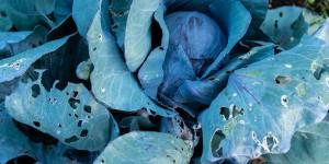 Τρύπες και φαγώματα σε φύλλα λάχανου που οφείλονται σε κάμπιες