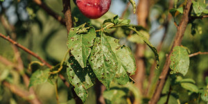 Χαρακτηριστικές τρύπες σε φύλλα δέντρου βανίλιας