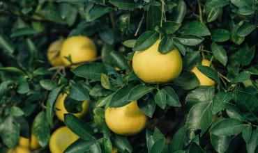 10 μυστικά για την καλλιέργεια του γκρέιπ φρουτ