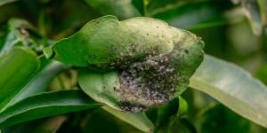 Το μαύρισμα της καπνιάς εμφανίζεται μαζί με μελιτώδη εκκρίματα από έντομα