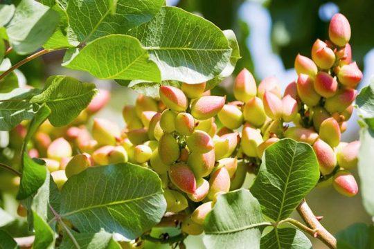 Φιστίκια σε δέντρο φιστικιάς