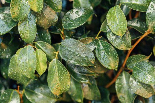 Νερό βροχής σε φύλλα