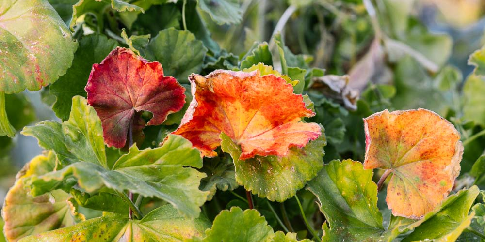 Κόκκινα φύλλα σε φυτό γερανιού