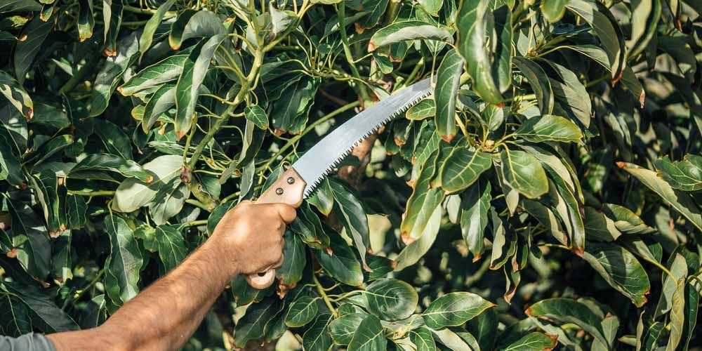 Κλάδεμα αβοκάντο