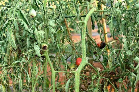 Φουζάριο αντιμετώπιση ντομάτα