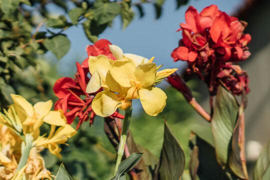 Φυτά κάννας σε παρτέρι