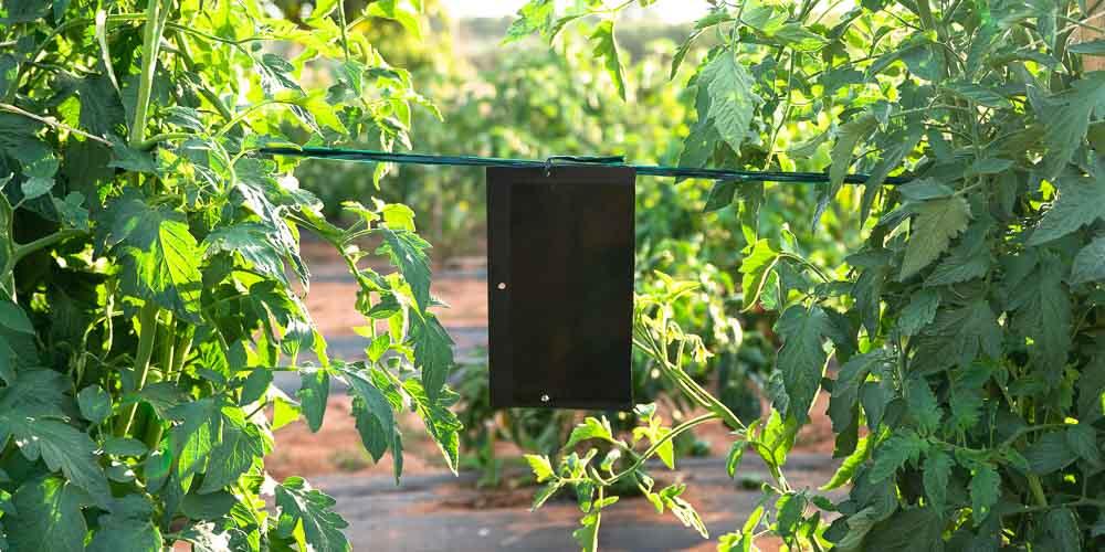 Μαύρη εντομοπαγίδα με κόλλα